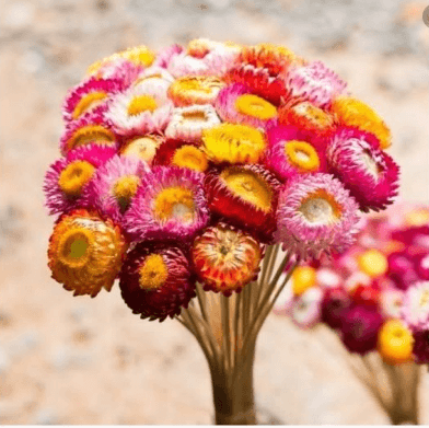hoa bất tử khô